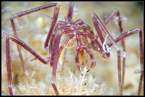 Arañas de mar