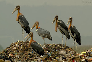 Image of Greater Adjutant Stork photographed by Yathin Krishnapa.