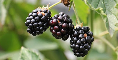 blackberry, daftar keluarga buah berry