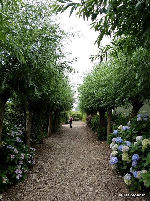 Hortensien Im Schatten hortensien im schatten umiss saori blueu hortensien im schatten