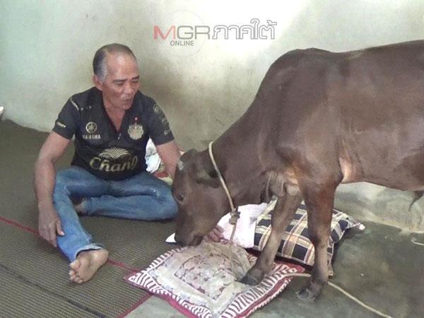 """""""เจ้าสมยศ"""" วัวขี้อ้อนชอบนอนในบ้านกินอาหารเหมือนคน"""