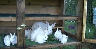 Usaha kelinci Ternak new zealand
