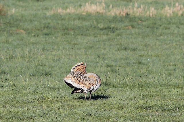 a male great bustard (Otis tarda) preparing displaying
