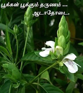 adhatoda flower