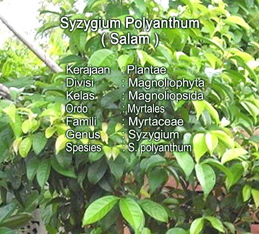 Taksonomi daun Salam sebagai obat Asam Urat