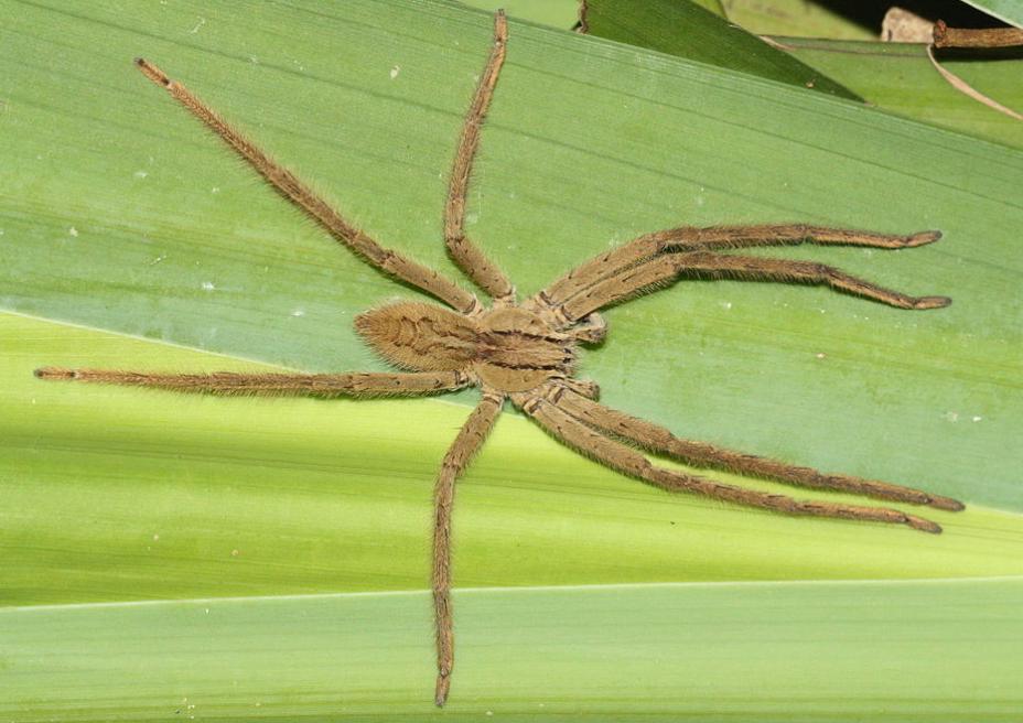 Cupiennius genus
