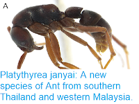 https://sciencythoughts.blogspot.com/2018/07/platythyrea-janyai-new-species-of-ant.html
