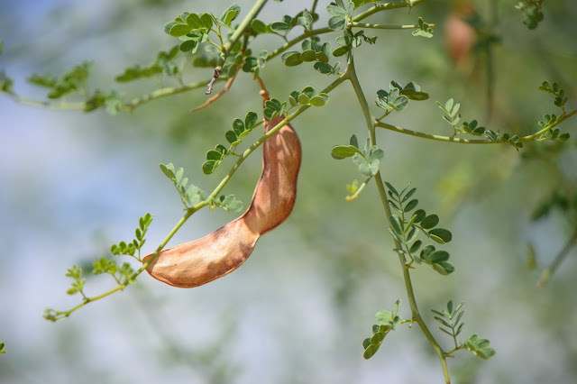 Parkinsonia florida, tree following meme, seedpod, desert tree, blue Palo Verde