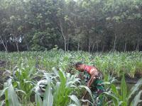 Merumput di Lahan Jagung, Babinsa Koramil 03/Sibolangit bersama Petani