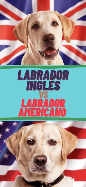 Labrador Inglés VS Americano