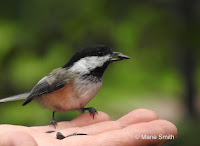 Black-capped chickadee feeding in hand Summerside, PEI, by Marie Smith