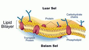 Membran Sel (Plasmalemma atau Selaput Plasma)