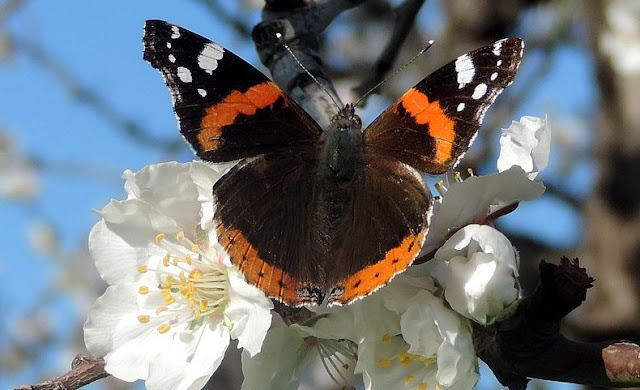 Red Admiral butterfly - Vanessa atalanta