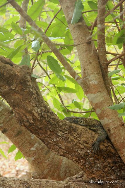 Baby Komodo Dragon Rinca Island