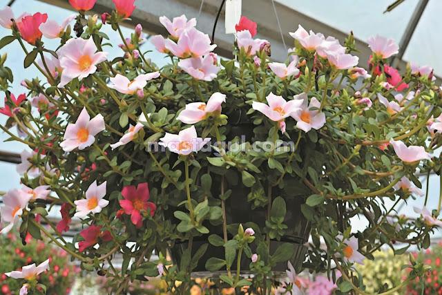 Kenali Jenis Tanaman Bunga Hias