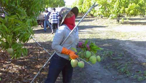 pekerja indonesia di kebun buah australia.psd