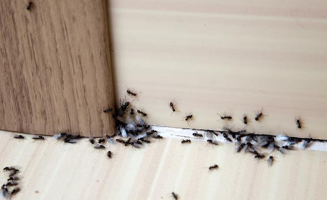 Enam Cara Mengusir Semut dari Rumah Anda