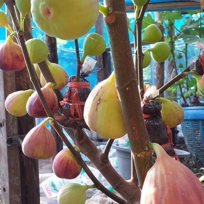 bibit tin jumbo Masui Dauphine fresh cangkok Kalimantan Selatan