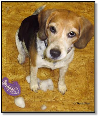Manche Beagle werden nie erwachsen