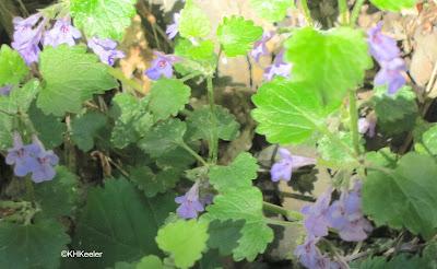 Ground ivy, Glechoma hederacea,