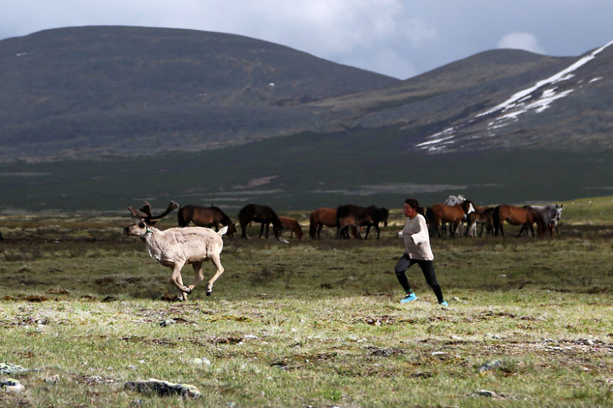 Running after the reindeer by sunset to bring them back to the camp for milking - Meet The Tsaatan Nomads In Mongolia Who Live Like No One Else