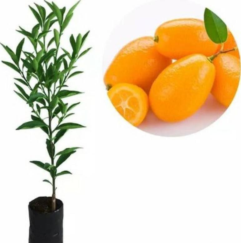 jeruk nagami super 1 bln bisa berbuah sudah masa produktif berbuah Sumatra Selatan