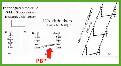 Peptidoglycan_Cross_Linking_and_PBPs