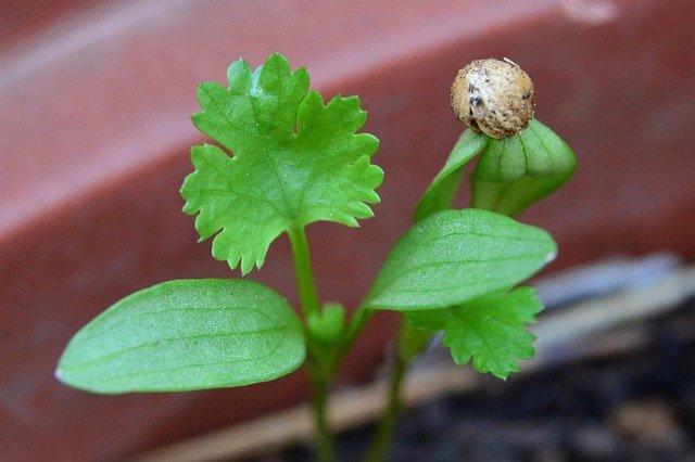 Coriander plant How coriander grows planting coriander How to grow coriander Coriander uses