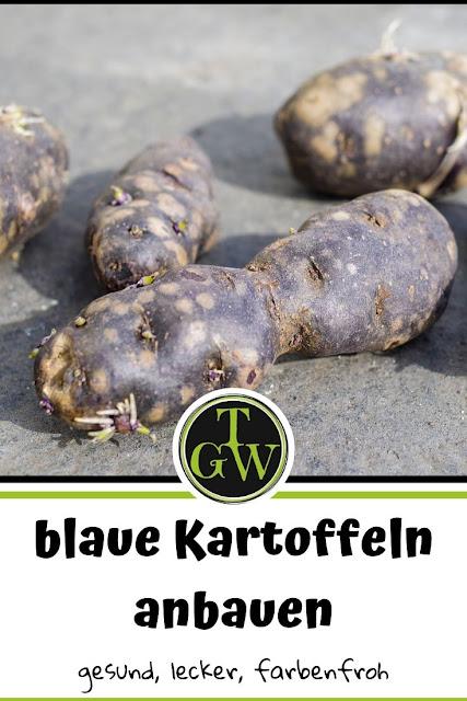 Blaue Kartoffeln anbauen, wenn es im Herbst etwas Besonderes auf dem Teller geben sollte, ist das absolute Muss. Gelbe Kartoffeln waren gestern! #kartoffeln #anbau #garten #exotisches # gemüse #topfgartenwelt.