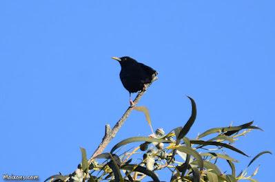 Estornell negre (Sturnus unicolor)