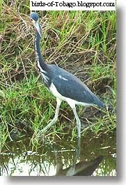Tri-coloured Heron (Hydranassa tricolor)