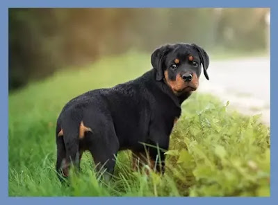 rottweiler puppies for sale , rottweiler puppies near me , rottweiler puppies for sale near me , rottweiler puppies