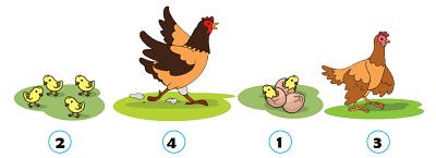 tahapan pertumbuhan dan perkembangan Ayam www.simplenews.me