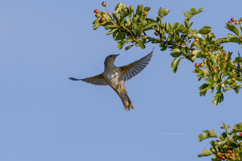 nightingale bird singing