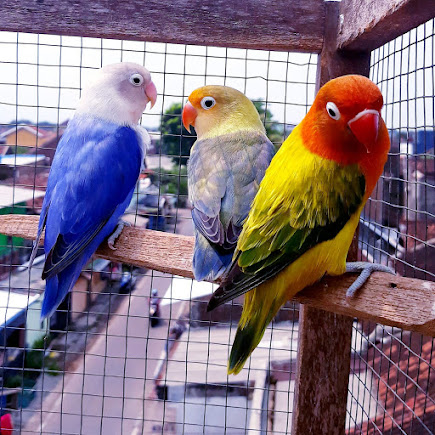 Ternak burung lovebird