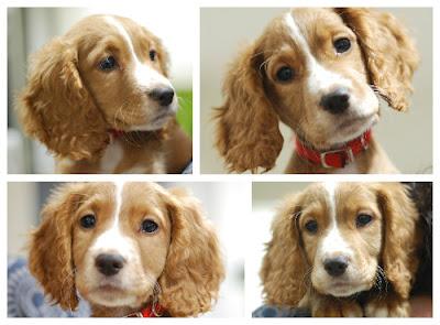 Cocker spaniel puppy portrait