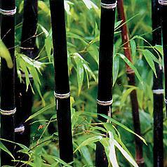 wayside gardens waysidegarden black bamboo. Black Bedroom Furniture Sets. Home Design Ideas
