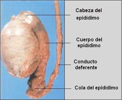 CIENCIAS BIOLOGICAS: SISTEMA REPRODUCTOR MASCULINO