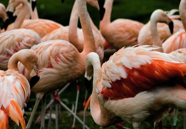 aprende ingles partes animales grupo flamencos color rosa