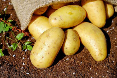 hướng dẫn trồng hoa hồng bằng củ khoai tây