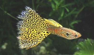 Ikan Guppy Yellow Lace Thailand - Cara Budidaya Ikan Guppy