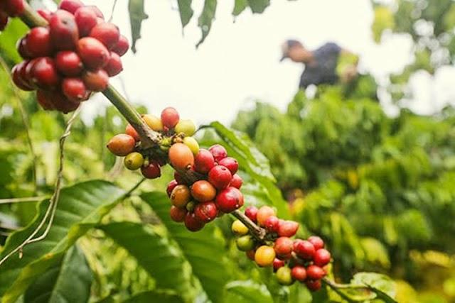 Giá cà phê hôm nay 6/8: Nhiều nơi giảm 100 đồng/kg
