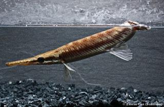 Jenis Ikan Aligator Tropical Gar