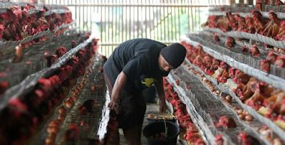 Berita Terbaru Hari ini Nasib Peternak Ayam Petelur Blitar Kini di Ujung Tanduk