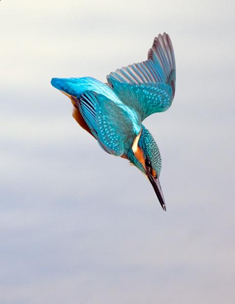 Kingfisher Flying Reader in Orkne...