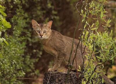 Sejarah Kucing Chausie