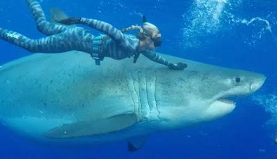 Berenang bersama hiu putih besar