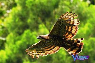 Contoh Hewan Aves - Burung Elang Jawa