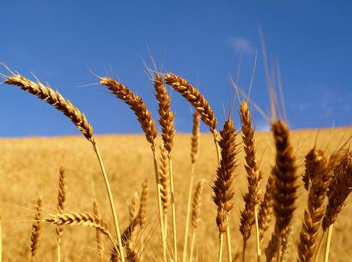 como debo tomar germen de trigo para adelgazar