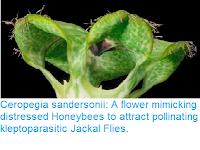 https://sciencythoughts.blogspot.com/2016/10/ceropegia-sandersonii-flower-mimicking.html